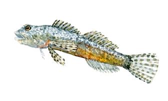 Finnestribet ferskvandshulk fisk. Samling af danske ferskvandsfisk skitser i akvarel af Frits Ahlefeldt