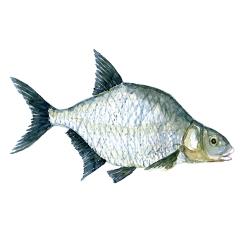 Brasen fisk, Samling af danske ferskvandsfisk skitser i akvarel af Frits Ahlefeldt