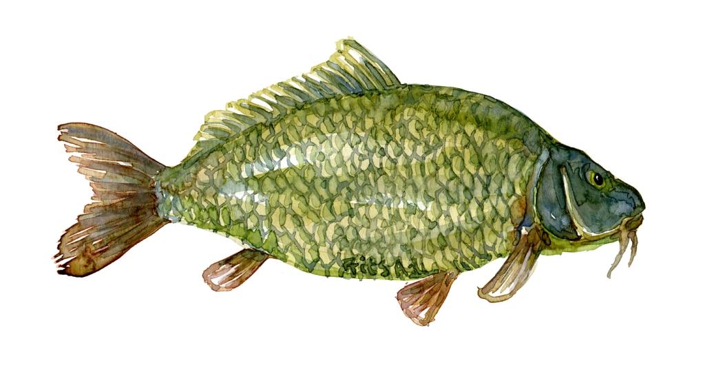 Karpe fisk - Samling af danske ferskvandsfisk skitser i akvarel af Frits Ahlefeldt
