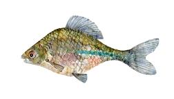 Bitterling fisk, Samling af danske ferskvandsfisk skitser i akvarel af Frits Ahlefeldt