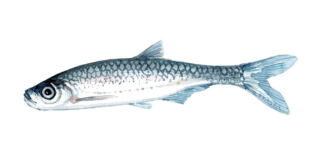 Loeje - fisk Samling af danske ferskvandsfisk skitser i akvarel af Frits Ahlefeldt