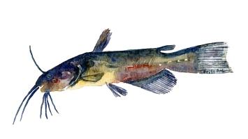 Dværgmalle fisk sSamling af danske ferskvandsfisk skitser i akvarel af Frits Ahlefeldt - Danmark
