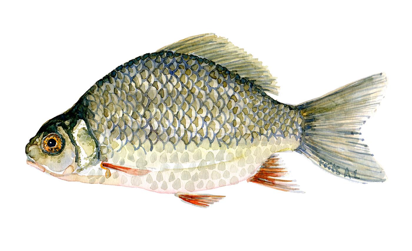 Karusse fisk - Samling af danske ferskvandsfisk skitser i akvarel af Frits Ahlefeldt - Danmark