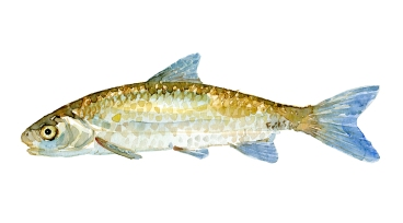 Stroemskalle fisk, Samling af danske ferskvandsfisk skitser i akvarel af Frits Ahlefeldt - Danmark