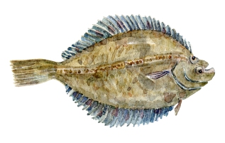 Skrubbe fisk, Samling af danske ferskvandsfisk skitser i akvarel af Frits Ahlefeldt - Danmark