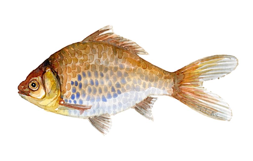 Guldfisk, soelvkarusse, fisk Samling af danske ferskvandsfisk skitser i akvarel af Frits Ahlefeldt - Danmark