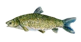 Graeskarpe fisk, Samling af danske ferskvandsfisk skitser i akvarel af Frits Ahlefeldt - Danmark