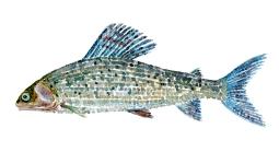 Stalling, fisk, Samling af danske ferskvandsfisk skitser i akvarel af Frits Ahlefeldt - Danmark
