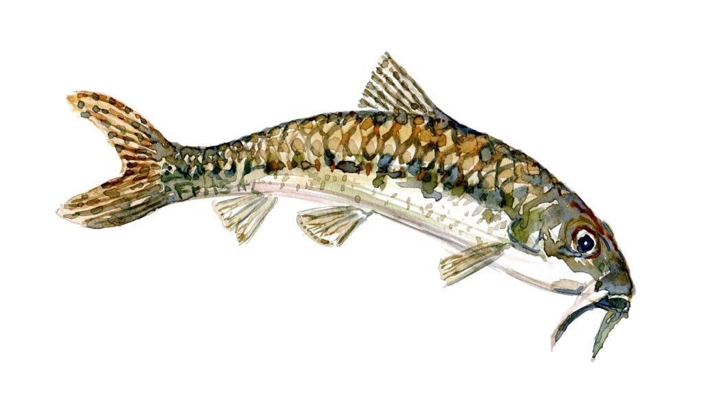 Grundling fisk, Samling af danske ferskvandsfisk skitser i akvarel af Frits Ahlefeldt - Danmark
