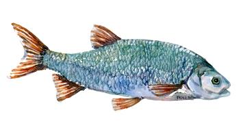Rimte, fisk, Samling af danske ferskvandsfisk skitser i akvarel af Frits Ahlefeldt - Danmark