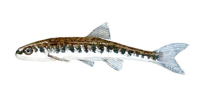 Elritse fisk, Samling af danske ferskvandsfisk skitser i akvarel af Frits Ahlefeldt - Danmark