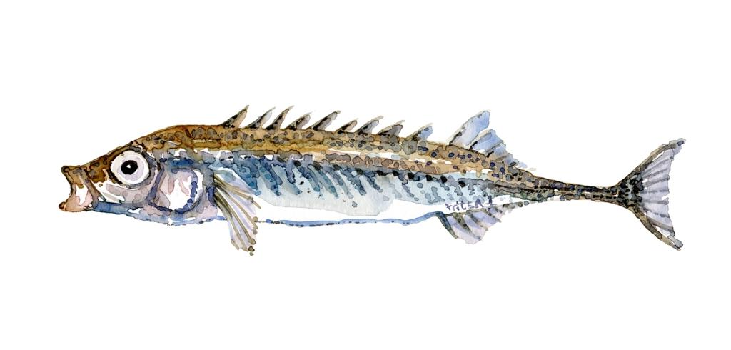 Nipigget hundestejle fisk, Samling af danske ferskvandsfisk skitser i akvarel af Frits Ahlefeldt - Danmark