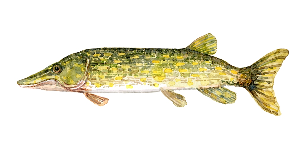 Gedde fisk - Samling af danske ferskvandsfisk skitser i akvarel af Frits Ahlefeldt - Danmark