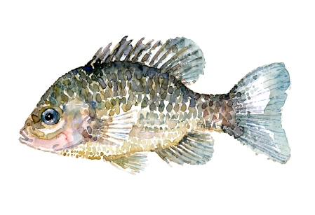 Solaborre fisk - Samling af danske ferskvandsfisk skitser i akvarel af Frits Ahlefeldt - Danmark