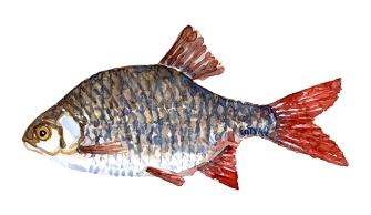 Rudskalle fisk, Samling af danske ferskvandsfisk skitser i akvarel af Frits Ahlefeldt - Danmark