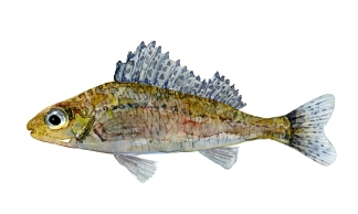 Hork fisk, Samling af danske ferskvandsfisk skitser i akvarel af Frits Ahlefeldt - Danmark