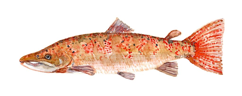 Laks - orange - Samling af danske ferskvandsfisk skitser i akvarel af Frits Ahlefeldt - Danmark