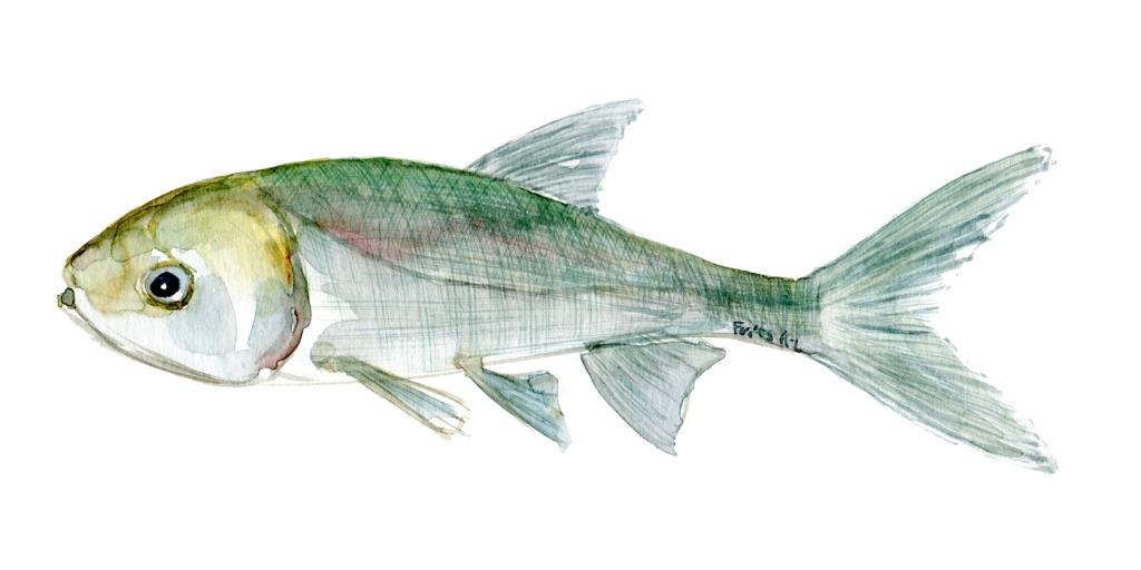 Karpe fisk, Samling af danske ferskvandsfisk skitser i akvarel af Frits Ahlefeldt - Danmark