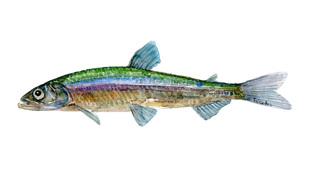 Smelt, fisk Samling af danske ferskvandsfisk skitser i akvarel af Frits Ahlefeldt - Danmark