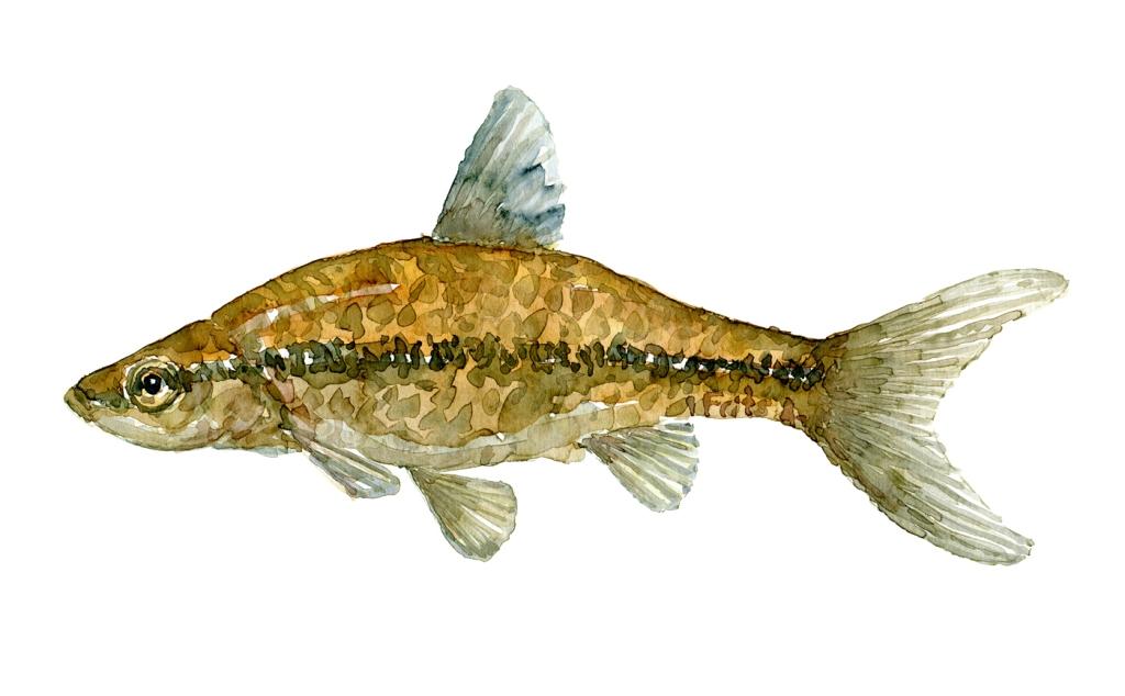 Båndgrundling fisk - samling af danske ferskvandsfisk skitser i akvarel af Frits Ahlefeldt - Danmark