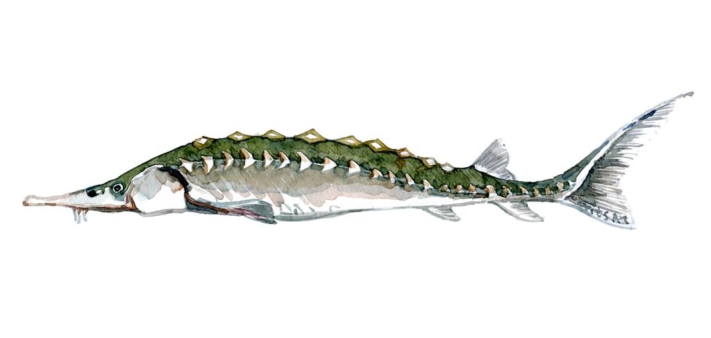 Stør fisk - Samling af danske ferskvandsfisk skitser i akvarel af Frits Ahlefeldt - Danmark
