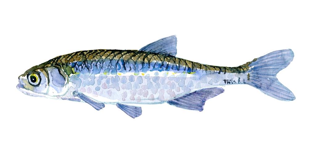 Regnløje - Samling af danske ferskvandsfisk skitser i akvarel af Frits Ahlefeldt - Danmark