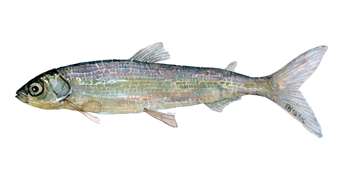 Helting fisk - Samling af danske ferskvandsfisk skitser i akvarel af Frits Ahlefeldt - Danmark