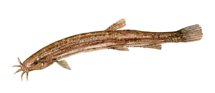 Dynsmerling fisk Samling af danske ferskvandsfisk skitser i akvarel af Frits Ahlefeldt - Danmark