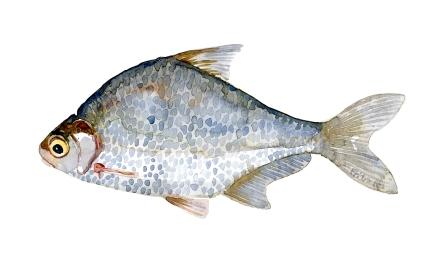 Flire - Samling af danske ferskvandsfisk skitser i akvarel af Frits Ahlefeldt - Danmark