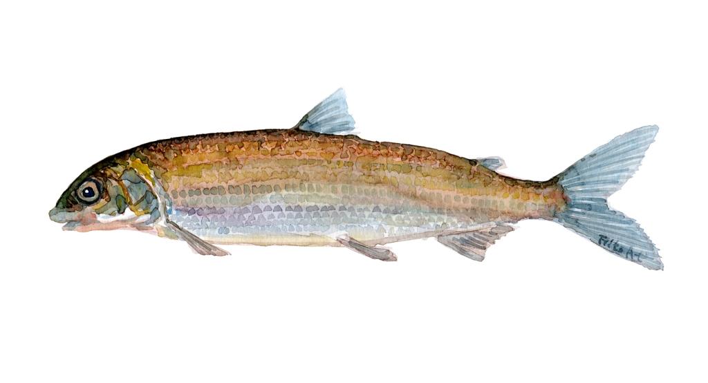 Helt - Samling af danske ferskvandsfisk skitser i akvarel af Frits Ahlefeldt - Danmark