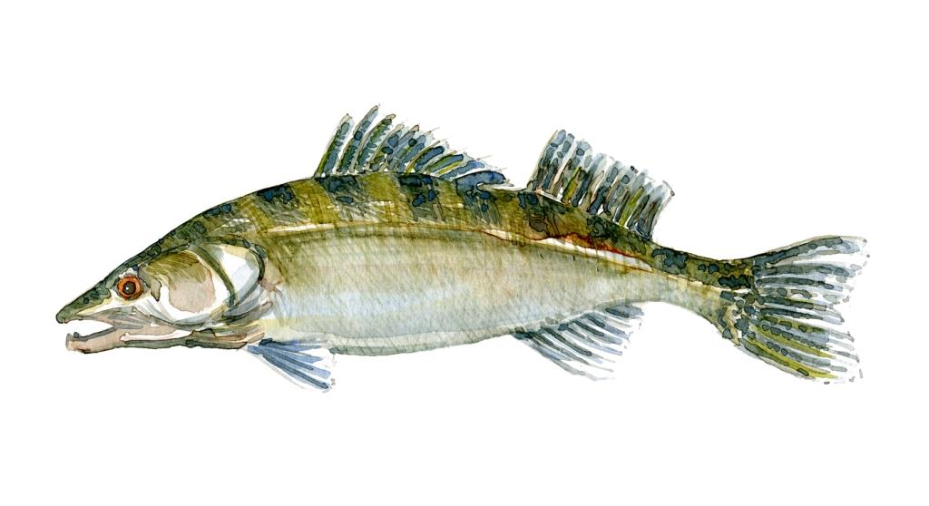 Sandart - fisk, Samling af danske ferskvandsfisk skitser i akvarel af Frits Ahlefeldt