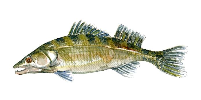 Sandart - Samling af danske ferskvandsfisk skitser i akvarel af Frits Ahlefeldt - Danmark