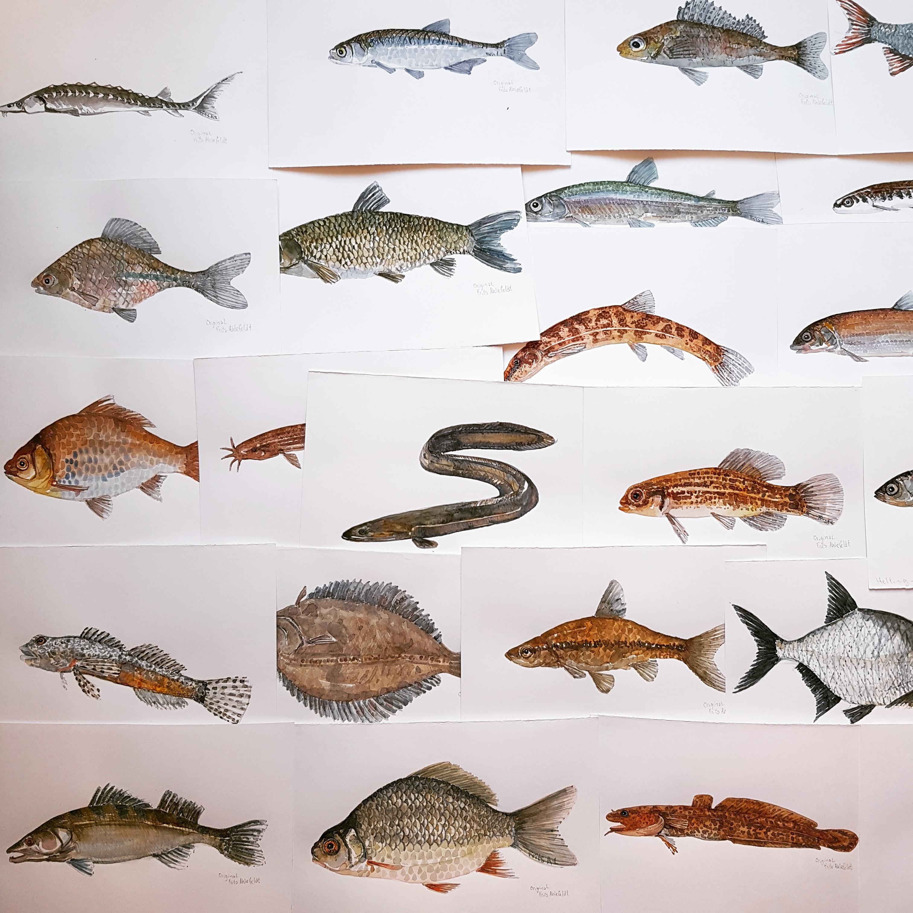 Akvarel samling af danske ferskvandsfisk. illustrationer af Frits Ahlefeldt