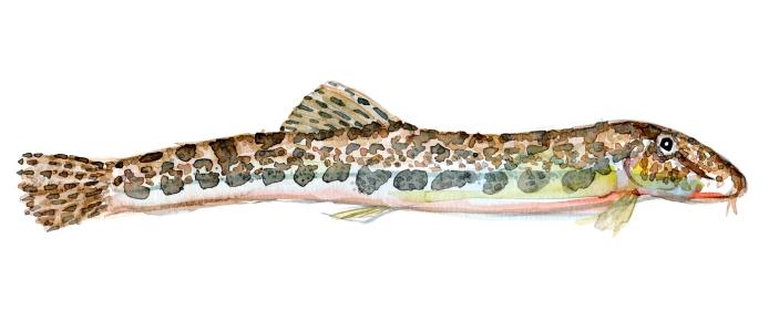 Pigsmerling - Samling af danske ferskvandsfisk skitser i akvarel af Frits Ahlefeldt - Danmark