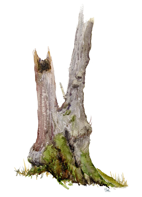 Elletræ fra Dyrehaven - portræt i akvarel af Frits Ahlefeldt