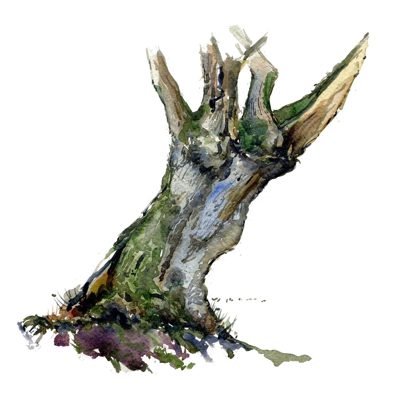 Elletræ fra Dyrehaven kvadrat version instagram - portræt i akvarel af Frits Ahlefeldt