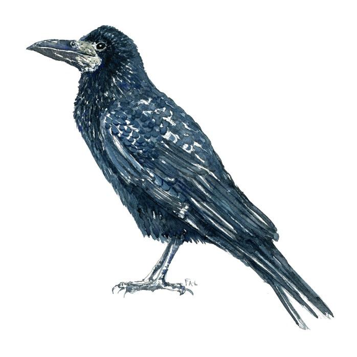 Akvarel af Råge - dansk kragefugl - illustration af Frits Ahlefeldt