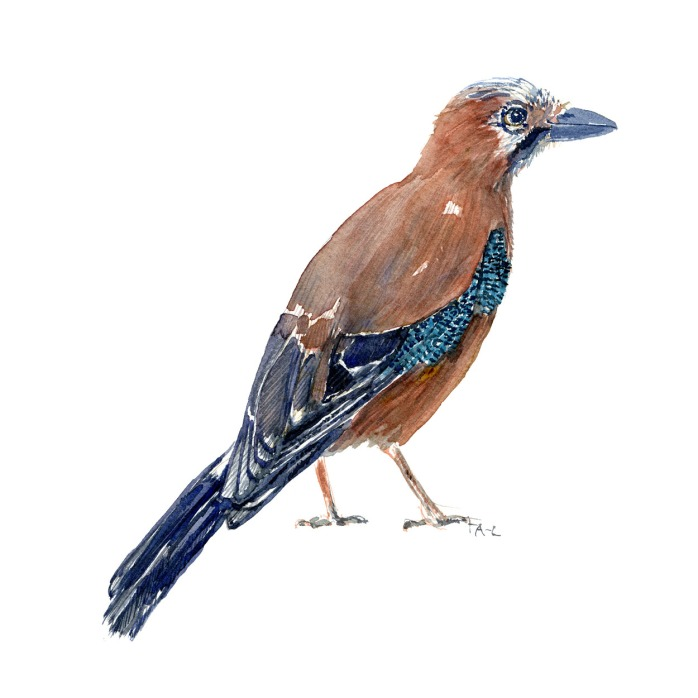 Dansk fugle akvarel, Skovskade. Illustration af Frits Ahlefeldt