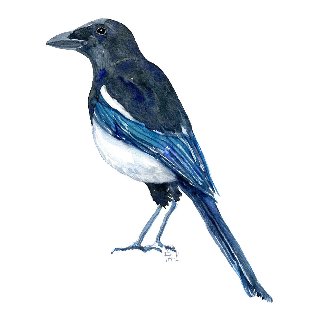 Fugle akvarel af Skade - illustration af Frits Ahlefeldt