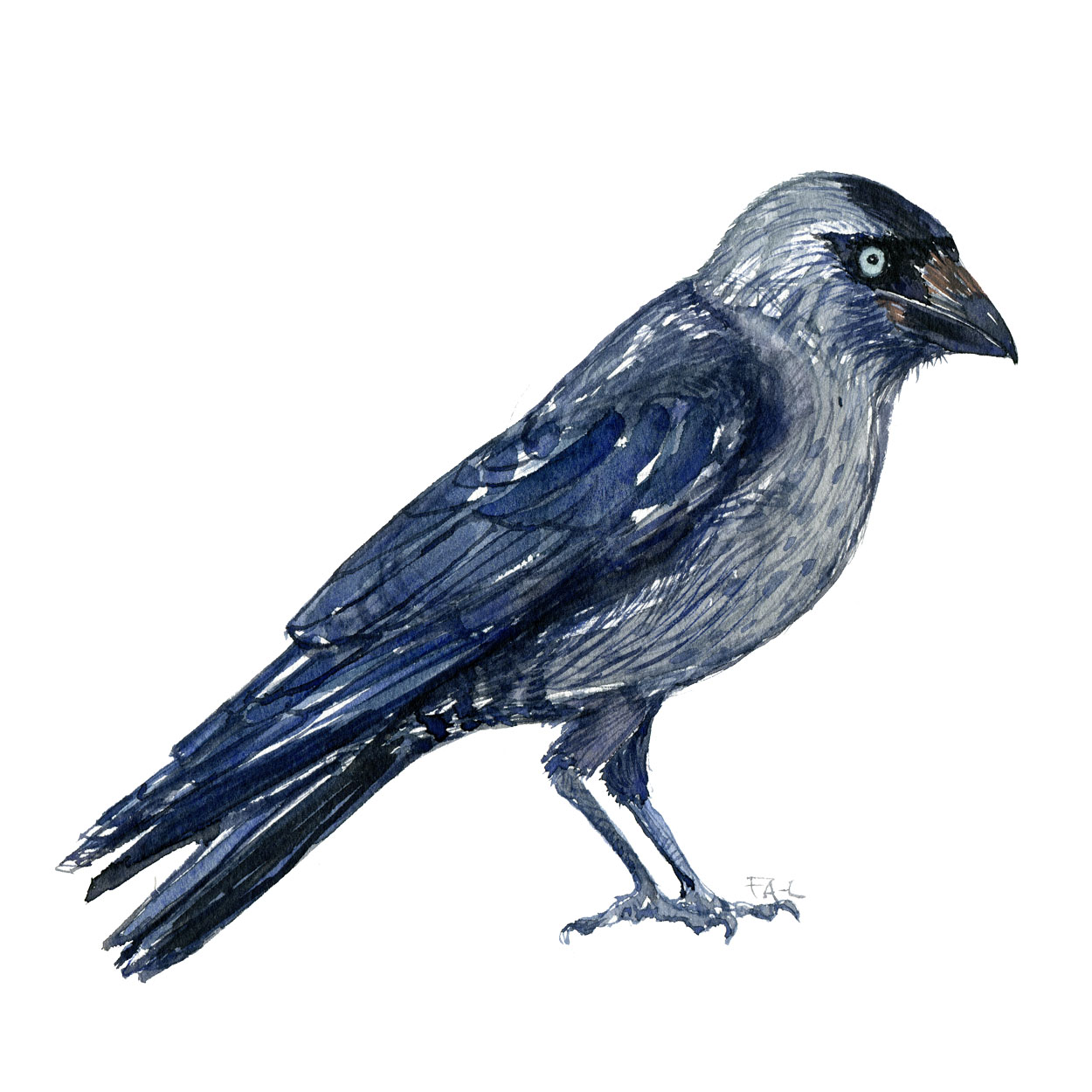 Fugle akvarel af Allike - Dansk kragefugl - Af Frits Ahlefeldt