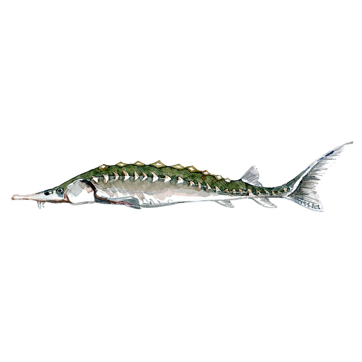 Stør Ferskvandsfisk og biodiversitet i Danmark Akvarel af Frits Ahlefeldt
