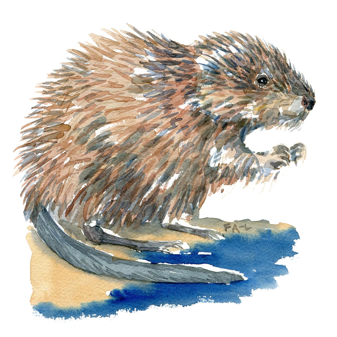 Akvarel af Bisamrotte, tegning af frits Ahlefeldt