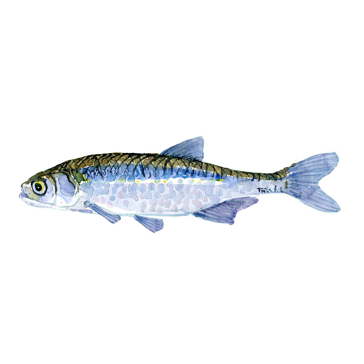 Regnløje Ferskvandsfisk og biodiversitet i Danmark Akvarel af Frits Ahlefeldt