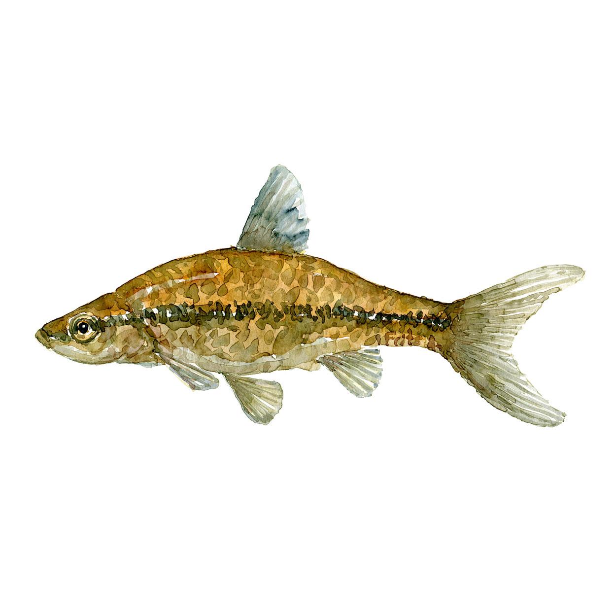 Båndgrundling Ferskvandsfisk og biodiversitet i Danmark Akvarel af Frits Ahlefeldt