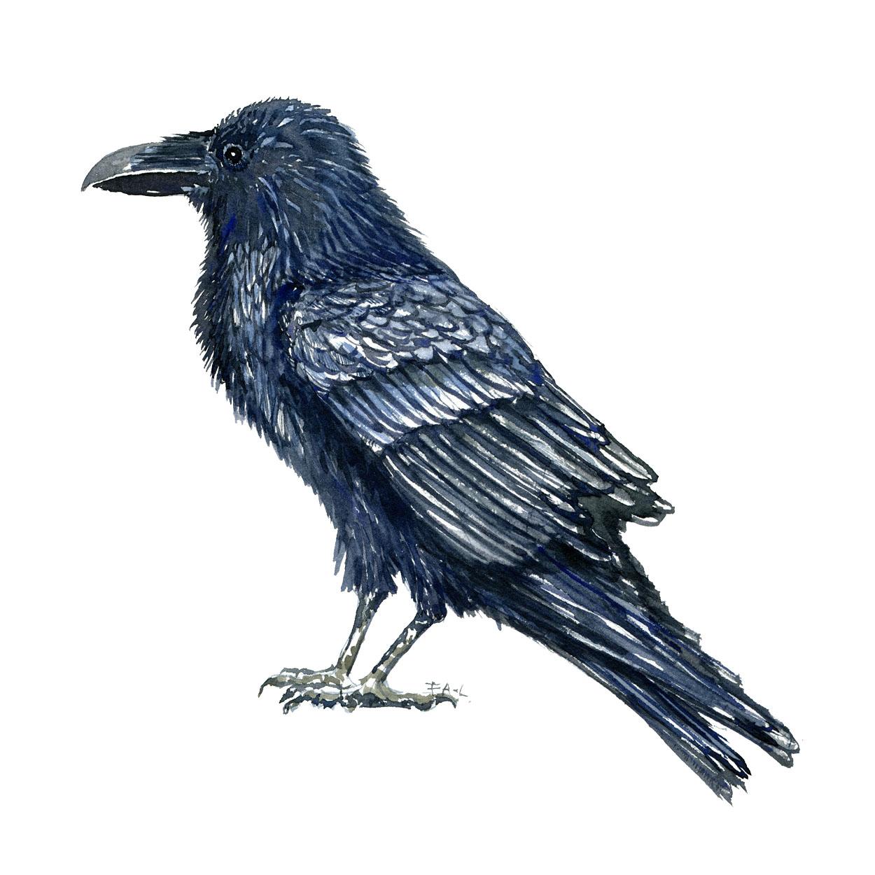 Ravn fugl, akvarel af Frits Ahlefeldt biodiversitet i Danmark