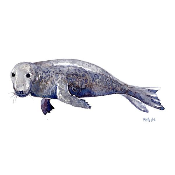 Gråsæl Pattedyr illutration biodiversitet i Danmark. Akvarel af Frits Ahlefeldt