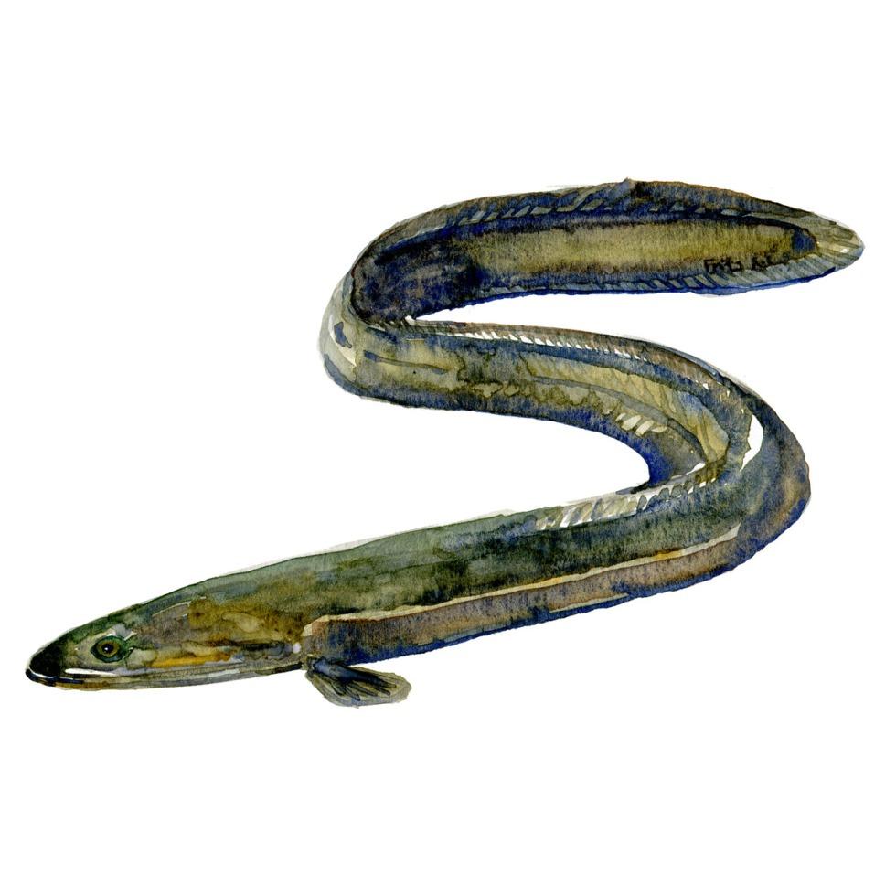 Akvarl illustration af ål. - fisk i Danmark tegning af Frits Ahlefeldt