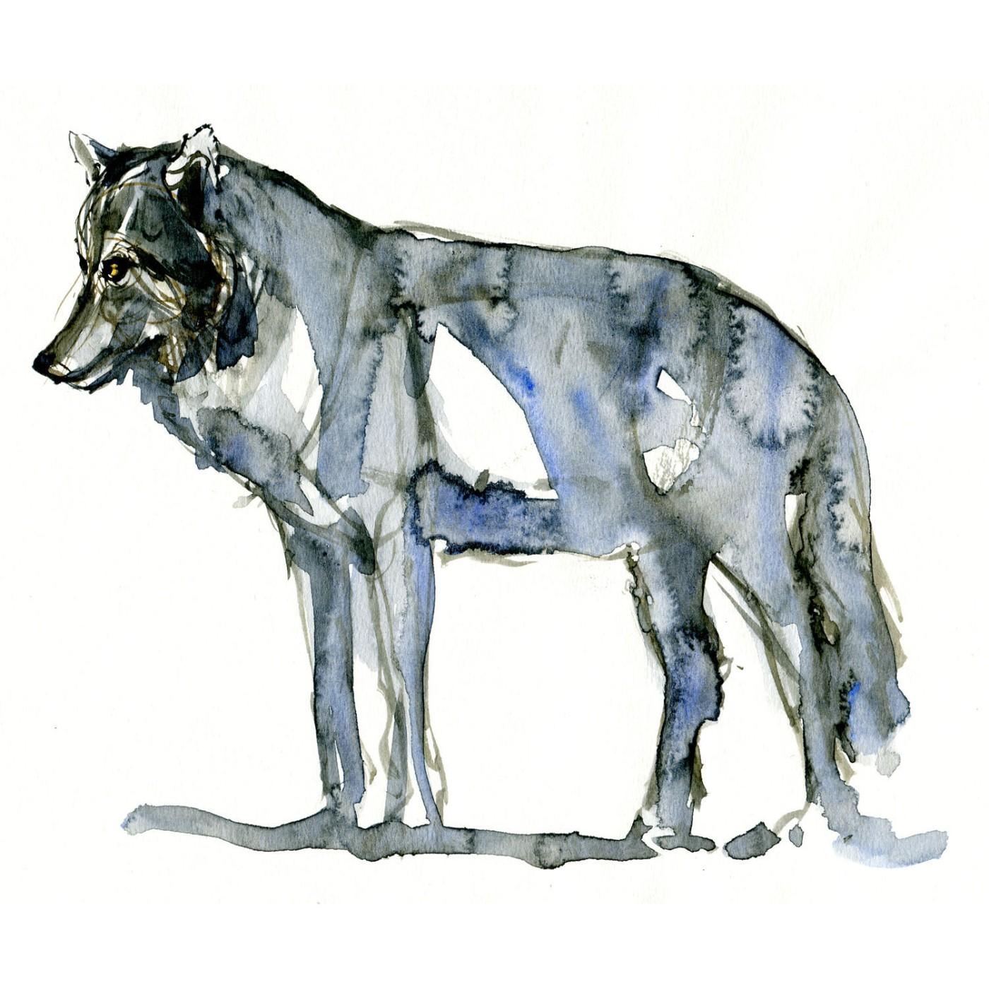 Ulv sideview Pattedyr illutration biodiversitet i Danmark. Akvarel af Frits Ahlefeldt