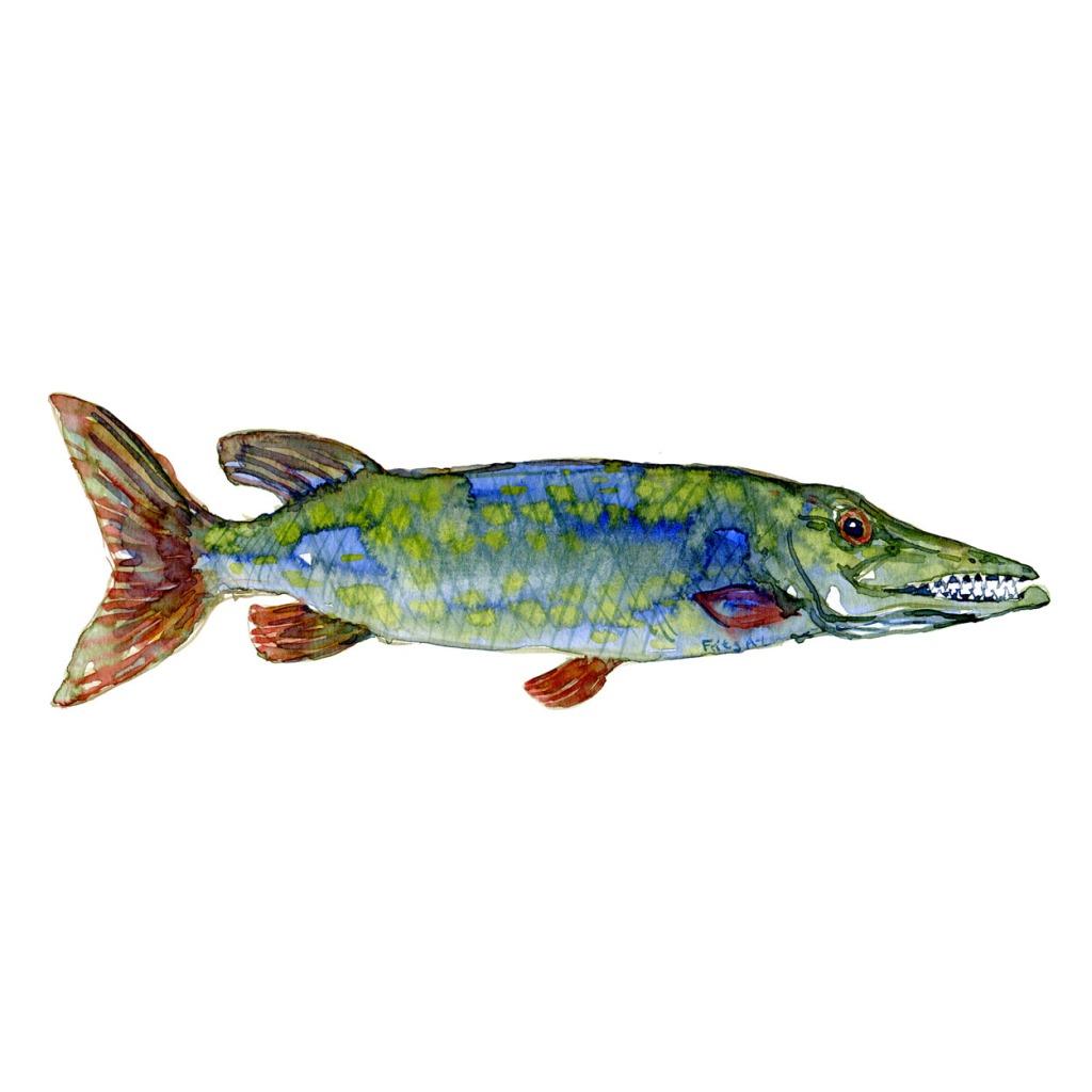 Gedde Ferskvandsfisk og biodiversitet i Danmark Akvarel af Frits Ahlefeldt