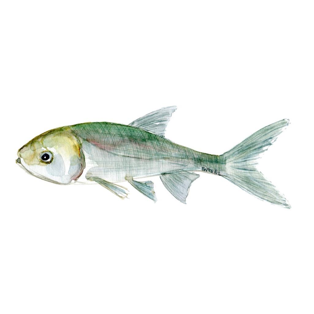 Karpe Ferskvandsfisk og biodiversitet i Danmark Akvarel af Frits Ahlefeldt